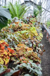 My collection is massed together on one of the long sliding tables in my main greenhouse. Rhizomatous begonias range from small, delicate plants with one-inch wide leaves to large, robust specimens with 12-inch wide leaves or more.
