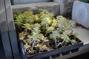 Many types of succulents were propagated right here in my greenhouse from other cuttings.