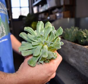 The Echeveria succulent plant is slow growing and usually doesn't exceed 12-inches in height or spread.