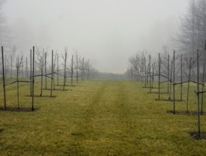 Across the carriage road is my new orchard, planted with a variety of apple trees, plum trees, cherry trees, peach, pear and quince trees. The fog blocks any view of the Boxwood Allee in the distance.