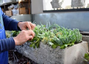 Succulents can be planted closely together, so don't worry if some of them touch each other.