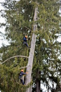 My longtime arborists at SavATree came with a crew to remove some of the branches from the six trees that needed to be removed - five Norway spruce and one white pine.