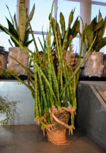 The sansevieria plant features stiff, upright leaves that range from one to eight feet tall depending on variety. These plants are among the most hardy of all houseplants because they can withstand virtually any conditions.