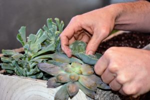 And then gently pushes the stem end of each plant into the growing medium.