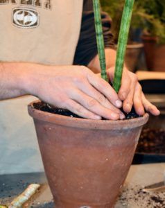 Ryan tamps the soil down around each plant to prevent any air holes. Although they are very forgiving, Sansevieria plants prefers indirect but steady light with some direct sun. They can adapt to full sun conditions, and will also survive quite dim situations.