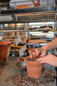 More potting mix is added around the plant, and patted down.