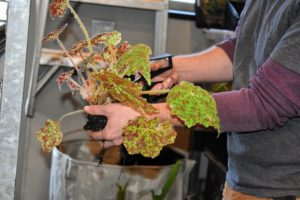 Before transplanting the next specimen, Ryan gives the roots a slight pruning to encourage new growth and aeration. Any viable leaves that fall off during repotting are always saved for future rooting purposes. Begonia leaves root easily - just push its stem into potting soil, and keep it moist. After a few weeks, new leaves emerge.