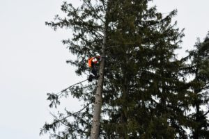 Jorge from SavATree was carefully hoisted up the first tree. Each 16-foot long section of tree is cut by chainsaw. Jorge has been doing this for many years and is excellent at logging trees. Jorge secures the section to be cut and the crane holds it taut, so that it is lifted upwards as soon as it is completely separated from the rest of the tree.