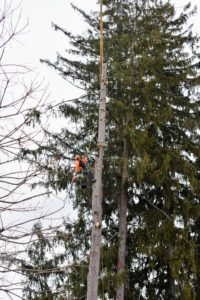 Jorge moves onto the next tree. Each tree takes a couple of hours to bring down. Every precaution is taken to do this safely and efficiently.