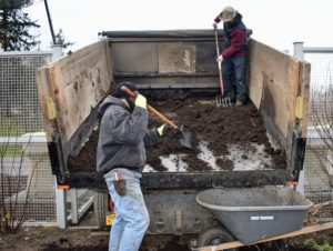 Truck loads of mulch and compost are backed up to the flower cutting garden. The crew has developed a very efficient process, so filling the wheelbarrows, dropping the clumps and spreading the compost and mulch can all be done in an organized manner.