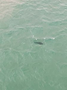 On the way to Portsea, we saw these black shadows - they are giant sharks.