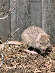Bettongs have distinctive hind limbs, perfect for hopping, and short forelimbs. They are colored brown-grey on top and have white or light bellies. The tail of the bettong is as long as the head and body and usually has a white tip.
