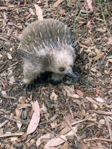 Echidnas are monotremes, or mammals that lay eggs.