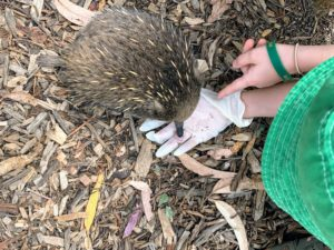 Sometimes called the spiny anteater, the short-beaked echidna measures a bit more than a foot long and weighs six to 15-pounds.