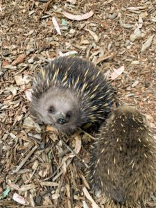 I was lucky to get this photo of one echidna as it looked up at me.