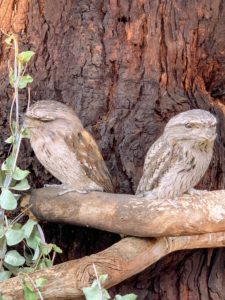 These owl-like creatures are frogmouths. The tawny frogmouth is a species native to and found throughout the Australian mainland and Tasmania. Tawny frogmouths are big-headed, stocky birds often mistaken for owls due to their nocturnal habits and similar coloring.