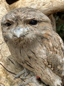 Tawny frogmouths have three distinct colors, but this grey brown is the most common in both sexes.