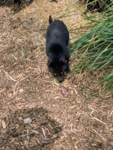 These feisty little mammals have a coat of coarse brown or black fur and a stocky profile that gives them the appearance of a baby bear. Most have a white stripe or patch on their chest and light spots on their sides or rear end. They have long front legs and shorter rear legs, giving them a lumbering gait. The Tasmanian devil reaches 30 inches in length and weighs up to 26 pounds when full grown. Its oversize head houses sharp teeth and strong, muscular jaws that can deliver, pound for pound, one of the most powerful bites of any mammal.