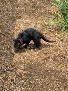 Truman couldn't wait to see the famous Tasmanian Devil, which is only found in Tasmania. It is the largest carnivorous marsupial.