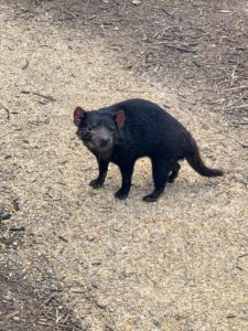 We also visited the Saffire Tasmanian Devil Sanctuary, where we met some recuperating Tasmanian devils and observed them as they ate and interacted with one other. This is Molly.