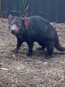 The Tasmanian devil is characterized by its stocky and muscular build, black fur, pungent odor, loud screech, sense of smell, and ferocity when feeding.