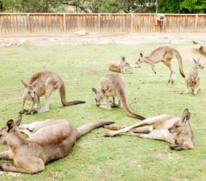 "Here is a group just lounging in their enclosure - watching all the activity at the Sanctuary. Kangaroos live and travel in organized groups called ""mobs""."