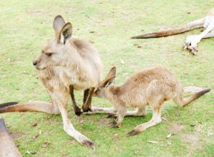 Here is a joey looking to hop back in its mom's pouch.