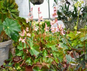 Although most rhizomatous begonias are grown for their interesting leaves, they also display clusters of small lovely blooms that grow like clouds above the foliage.