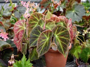 To successfully grow rhizomatous begonias, use clay pots and only repot one size up when the roots have filled their current vessel.
