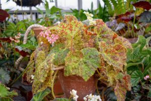 Rhizomatous begonias should be fed a general purpose fertilizer every other week during spring and summer.