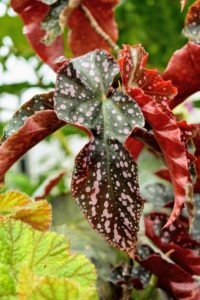 Here is another spotted begonia, accented with pink tones and colorful undersides.