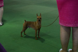 In the ring next door, the Miniature Pinschers. The Miniature Pinscher is a small breed of dog originating from Germany. The breed's earliest ancestors may have included the German Pinscher mixed with Italian greyhounds and dachshunds.
