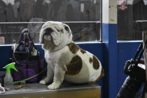 English Bulldogs also need grooming. Here is one waiting patiently on his table.