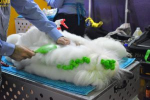 This standard poodle was lying down during his grooming - maybe even taking a short nap. Teaching your dog to lay down still is very helpful when brushing out their coat or trimming hairs on their feet.