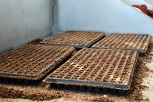 Once the trays are all prepared, it is time to drop the seeds.