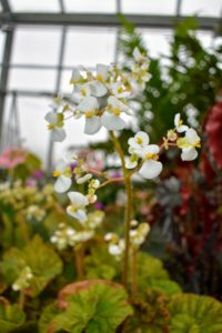 Rhizomatous begonia flowers bloom in late winter to early spring.