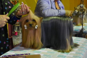 The Yorkshire Terrier is another breed that needs a lot of grooming for its silky, straight coat. These small dogs are popular companion animals. Ideally its maximum size is seven-pounds.