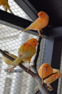 They are all so beautiful and striking in color. The bold colors of these red factor canaries can range in shades of light peach to apricot to orange to red.
