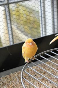Canaries are generally good-natured, social creatures. Healthy canaries will always have clear, bright eyes, clean, smooth feathers and curious, active dispositions.