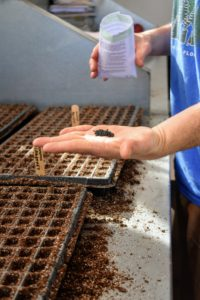 Onion seeds are very small, so be sure to take your time dropping them into the tray cells. It's also a good idea to keep a record of when seeds are sown, when they germinate, and when they are transplanted. These observations will help organize a schedule for the following year.