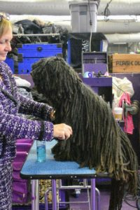 This breed is called a Puli, a small-medium breed of Hungarian herding and livestock guarding dog known for its long, corded coat. The tight curls of the coat appear similar to dreadlocks.