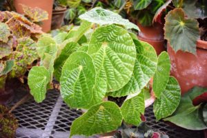 Begonia paulensis has large, shiny, green leaves with an extremely textured surface. Keep this houseplant in a shady area during summer months to prevent leaf burn.