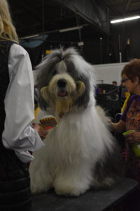 This is an Old English Sheepdog - a large breed of dog famous for his profuse coat and peak-a-boo hairdo.