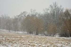 Here's a bit of color in a snowy landscape - a grove of yellow weeping willows along the edge of the lower hayfield.