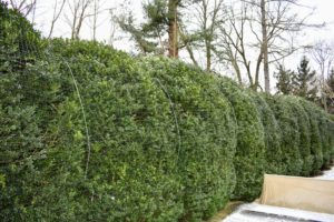 The large American boxwood hedge surrounding the Summer House garden is not as delicate as the English boxwood. We only cover these with netting for the winter to protect them from the heavy snow, which could weigh down and splay the branches.