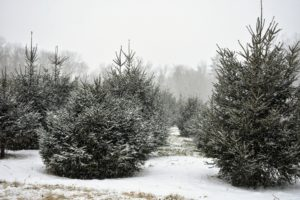 This is a picture of my field of Christmas trees - they have all grown so much! They were all just little saplings when I planted them 10-years ago. I planted a total of 640 Christmas trees in this field - White Pine, Frasier Fir, Canaan Fir, Norway Spruce, and Blue Spruce.