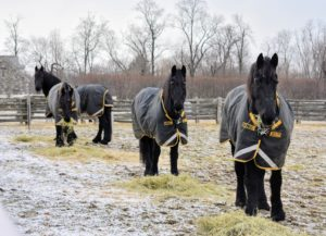 My Friesians were ready for any inclement weather. Here they are in their Rambo Supreme Turnout Rugs from Horseware Ireland.