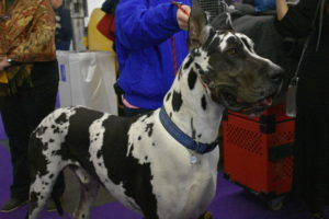 This is another giant breed - the Great Dane, a German breed known for its giant size. This Great Dane's black and white variety is called a Harlequin and his name is Bugs - he was born on Easter.