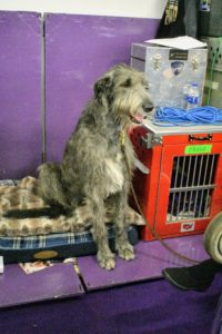Right next to Qin's table was this pretty girl, an Irish Wolfhound. She watched all the activity from her comfy bed.