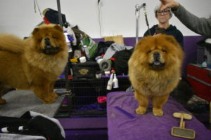 Here is Qin on the right and her sister, Tolosa on the left - both on their grooming tables ready for a brushing.